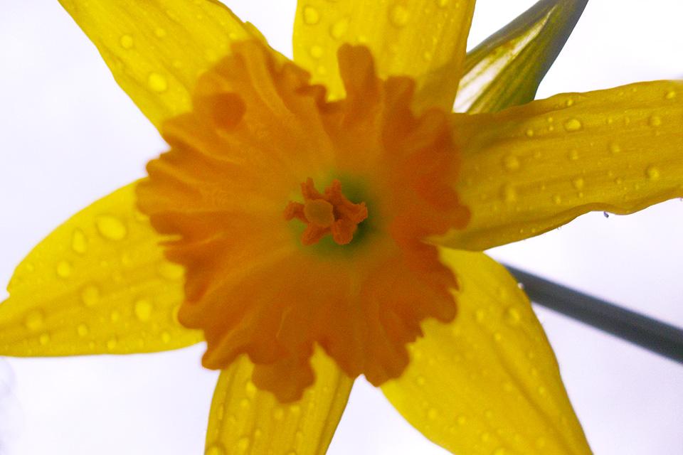 Een natte vroege Narcis is van onderen zoooooo mooi.